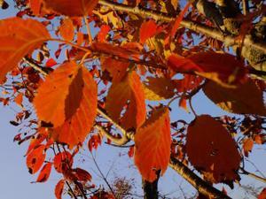 Cherrys_leaf